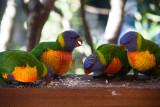Rainbow lorikeet family