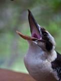 Kookaburra calling