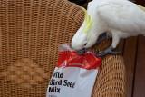 Sulphur crested cockatoo helping himself to bird seed
