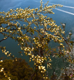 Acacia mimosa