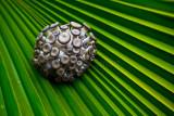 Shimeji mushroom on frond