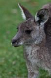 Eastern grey kangaroo close up