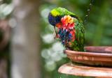 Rainbow lorikeet after bath