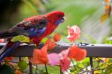 Crimson rosella on railing with bougainvillea
