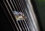 Ringtail possum profile