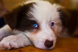 Ziggy, border collie