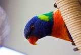 Rainbow lorikeet on pod chair