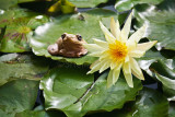 Peron's frog on waterlily pad
