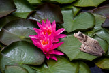 Pink water lily with frog