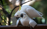 Mating sulphur crested cockatoos