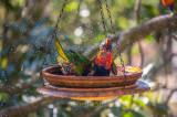 Rainbow lorikeets bathing