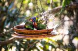 Rainbow lorikeets taking a bath