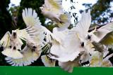 Sulphur crested cockatoos in flight