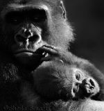 Gorilla and baby in black and white