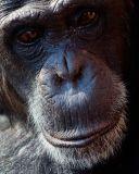 Chimpanzee up close