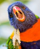 Lorikeet with open mouth