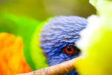 Lorikeet eye