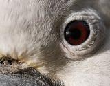 Close up of cockatoo eye