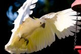 Cockie landing at feeder