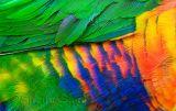 Lorikeet feathers
