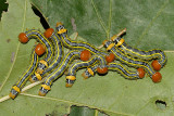 7952 - Red-humped Oakworm - Symmerista canicosta