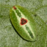 4654 - Abbreviated Button Slug - Tortricidia flexuosa