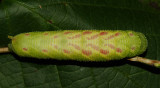 7826 - Huckleberry Sphinx caterpillar - Paonias astylus