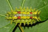 4697 - Spiny Oak-Slug - Euclea delphinii