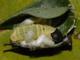 Wild Indigo Duskywing - Erynnis baptisiae (Braconid wasp parasitic pupa with it)
