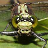 Black-shouldered Spinyleg - Dromogomphus spinosus