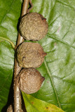 Oak Rough Bulletgall - Disholcaspis quercusmamma