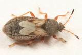 Chinch Bugs - Blissidae