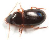 Selenophorus opalinus