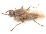 Seaweed Fly - Fucellia sp.