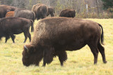 American Bison - Bos bison