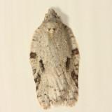3540 - Black-headed Birch Leaffolder Moth - Acleris logiana