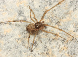 Parasteatoda tepidariorum (male)