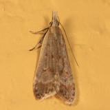 2283 - Dichomeris punctidiscella