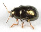 Diachus sp.