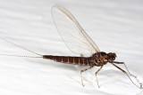 Flatheaded Mayflies - Arthropleidae - Arthroplea bipunctata