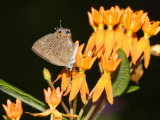 Striped Hairstreak - Satyrium liparops on Butterfly Weed - Asclepias tuberosa