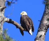 Bald Eagle - Haliaeetus leucocephalus