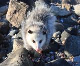 Virginia Opossum - Didelphis virginiana