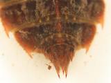 Libellula sp.