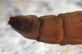 Tipula (subgenus Yamatotipula)