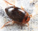 Neoporus carolinus