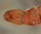 Tanypodinae