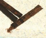 Giant Casemaker Caddisflies - Phryganeidae