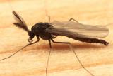 Diplocladius cultriger