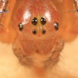 Sixspotted Orbweaver - Araniella displicata